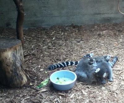 Disgustingly cute baby lemurs snuggling.
