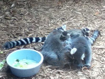 Cuddling lemur family.