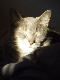 Sleepy cat in a sunbeam, close up.