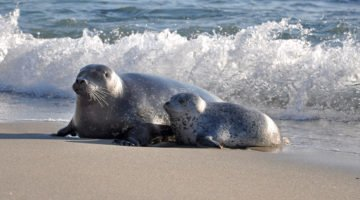 Childrens Pool seals -Courtesy SanDiego.org
